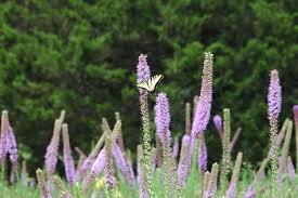 home nrcs missouri butterfly on blazing star