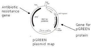 activity 4 transformation of e coli using green fluorescent protein