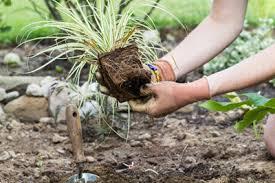 how to grow ornamental grass
