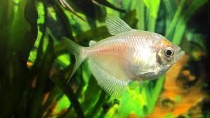 Buy Ornamental Fish Aquarium Fish For Or Beginners Angie S List