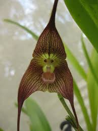 monkey orchid isn t nature amazing it looks like a monkey but it s an orchid