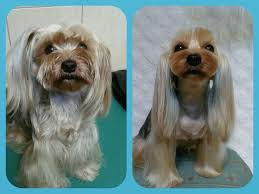 joypia yorkshire haircuts 35 best asian freestyle yorkies images on pinterest yorkie