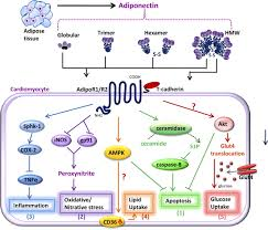 adiponectin and adipocyte fatty acid binding protein in the