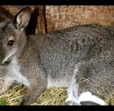 Wetter Bad Wurzach Vermisst Entlaufenes Känguru Skippi Gibt Rätsel Auf Welt