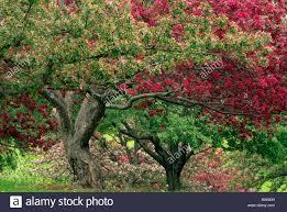 mn landscape arboretum grove of flowering crabapple trees at the minnesota landscape