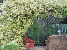 Most Fragrant Jasmine Plant - types of fragrant climbing plants jasmine hgtv and plants