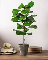 tabletop fiddle leaf potted tree balsam hill