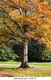 autumn tree in great stock photos autumn tree in