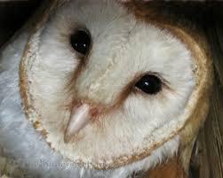 North American Barn Owl 10 000 Birds Cavity Nesting Birds Of North America And Their Babies