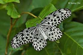 butterflies of singapore revision to the common names of