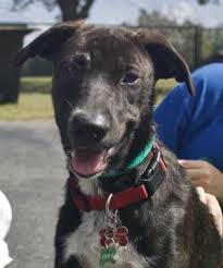 bluetick coonhound rescue georgia home for good dogs adoptable dogs home for good dogs