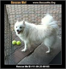 is a american eskimo dog right for me american eskimo dog blog u2015 rescueme org