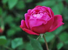 china with roses china united states botanic garden