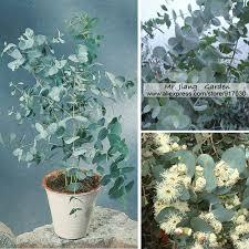 silver drop eucalyptus silver drop eucalyptus seeds 1 gram 250 seeds eucalyptus