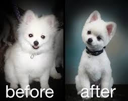 summer haircut pomeranian creative grooming pictures before anf after organizing