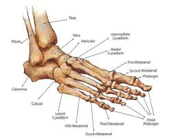 Human Jaw Bone Anatomy This Bone Is Found In Between The Patella And The Ankle Http