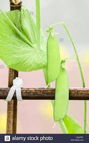 sugar snap peas or snow peas on a bamboo pole trellis in a