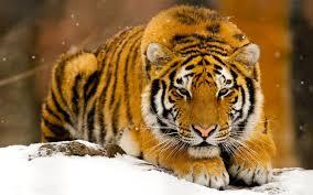tiger colour hd wallpaper desktop 1920 x 1200 reddit