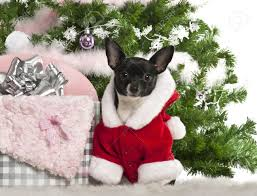 chihuahua 7 months old wearing santa with christmas