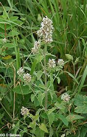 Catnip Flower - catnip catmint nepeta cataria l