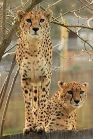 affectionate cheetahs wallpapers 297 best cheetah pictures to annoy everyone with images on