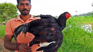 country rooster cockerelchicken cooking a young berg crower in