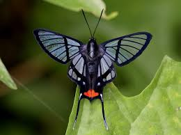butterflies of amazon andes photo gallery