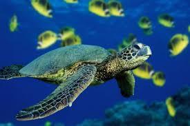 imagenes tortugas verdes científicos predicen extinción de tortugas verdes del pacífico en 20