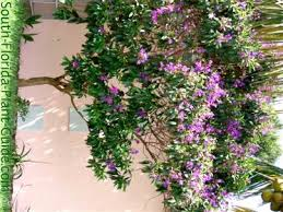 tree with purple flowers tibouchina tree