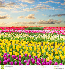 dutch yellow tulip fields in sunny day stock photo image 48334997