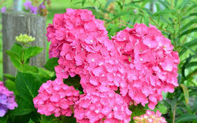 pink hydrangea wallpaper flower wallpapers 46365