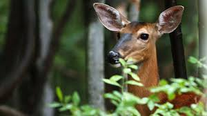 deer resistant native plants gardening help deer are eating all of our plants the morning call