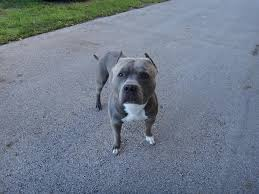 blue nose american pitbull terrier blue nose american pitbull terrier for stud in hoobly classifieds