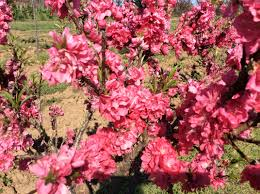 Purple Leaf Peach Tree by Keith U0027s Nursery Trees