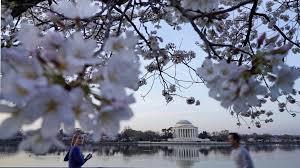 cherry blossoms it u0027s nearly time to head to washington cnn travel
