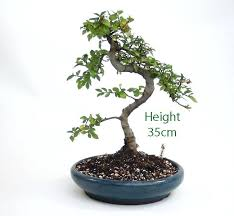 elm bonsai bonsai elm bonsai tree from the elm bonsai tree