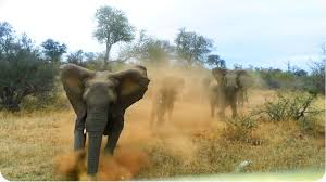 african jeep elephant attacks safari jeep exclusive footage never before