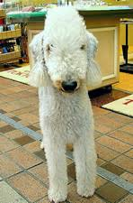 bedlington terrier guard dog bedlington terriers a guide to dogs and puppies of the bedlington
