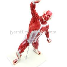 Full Body Muscle Anatomy Human Anatomy Muscle Body Model Buy Full Body Model Human
