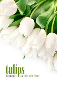 white tulips white tulips 30648 tulip flowers