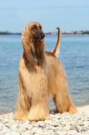 afghan hound dog images 137 best afghan hound images on pinterest afghans hound dog and
