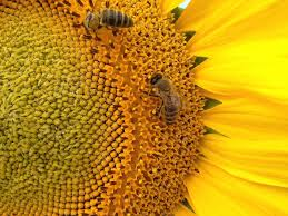 where to buy california native plants 6 easy ways you can help save the bees la times