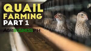 how to start quail farming business quail farming part 1