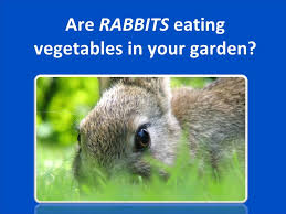 using animal repellent to keep rabbits out of your yard