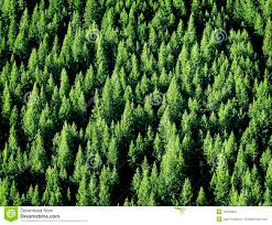 pine tree forest stock photography image 18723852