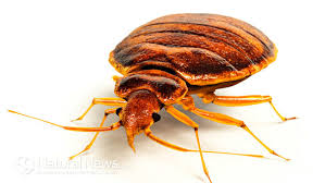 How To Get Rid Of Bed Bugs At Home How Do You Get Rid Of Bed Bugs For Good Home Remedies And Tips