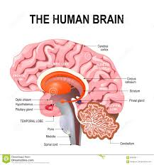 Image Of Brain Anatomy Brain Anatomy Labeled Diagram Stock Vector Image 41415211