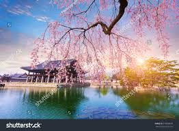 cherry blossom tree gyeongbokgung palace cherry blossom tree spring stock photo