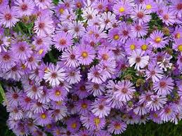 Wedding Flowers For September Asters Have A Flower Meaning Of Patience Love Daintiness And