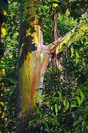 rainbow eucalyptus tree see rainbow trees on tour